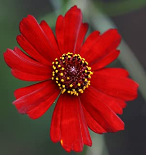HOT - Coreopsis, Plains, Dwarf RED, 450 Seeds! GroCo