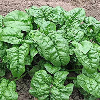 Noble Giant Spinach Seeds