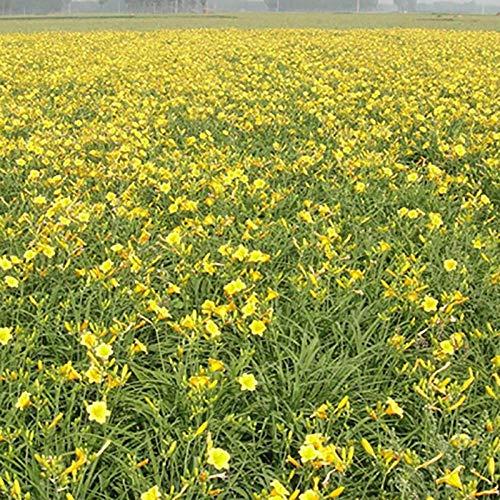 XINDUO Fleur Graines,Poupée d'or Hemerocallis Horticulture Plante Graine De Fleur-0.5kg,Graines de rares