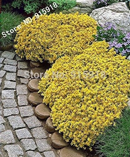 Graines de fleurs 50pcs Sedum-Golden Acre Tapis, Jaune Orpin couverture du sol Flower bonsaï Seeds