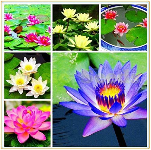 Nymphaea | Wasserlilie | Blume in gemischter Farbe | Verhindert Algenwachstum | Samen.-50pcs