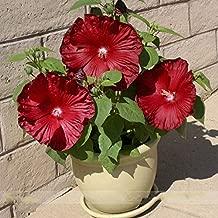 Honeymoon Deep Red Hibiscus Seeds, Professional Pack, 20 Seeds / Pack, The Darkest, Most Velvety Red Ever Bonsai Flower