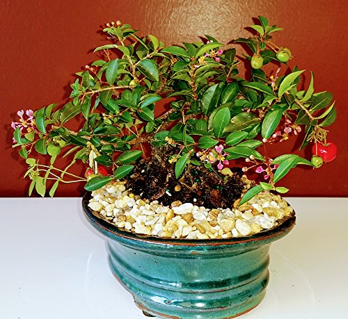 Bonsai Boy's Flowering Dwarf Weeping Barbados Cherry Bonsai Tree - Medium Malpighia Pendiculata