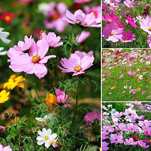 lamta1k 100 Piezas Color de la Mezcla Calliopsis Cosmos Gesang Calidad de la Flor y Alto índice de Supervivencia Semillas Jardín Balcón Decoración - Cosmos Seeds