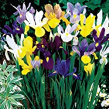 Dutch Iris Bulbs, Mixed---Perfect for Fall Planting!- Daylily Nursery (40)