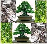 (10) Las semillas Mikawa Negro de árbol de pino japonés Bonsai - - Pinus thunbergii Mikawa