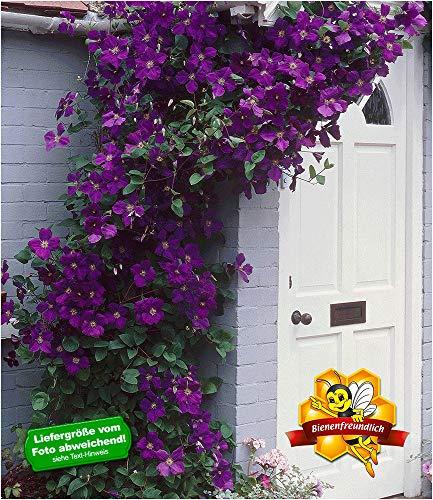 BALDUR Garten Clematis The President® Kletterpflanze Waldrebe, 1 Pflanze winterhart Klematis mehrjährige blühende Kletterpflanzen