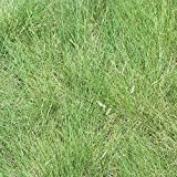 Outsidepride Blue Grama Native Grass Seed for Xeriscape Lawns & Pasture - 1 LB