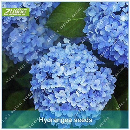 ZLKING 20 Pcs chinois hortensia Fleurs Bonsai Graines Natural High Rate Germination Facile à cultiver des plantes exotiques Fleurs