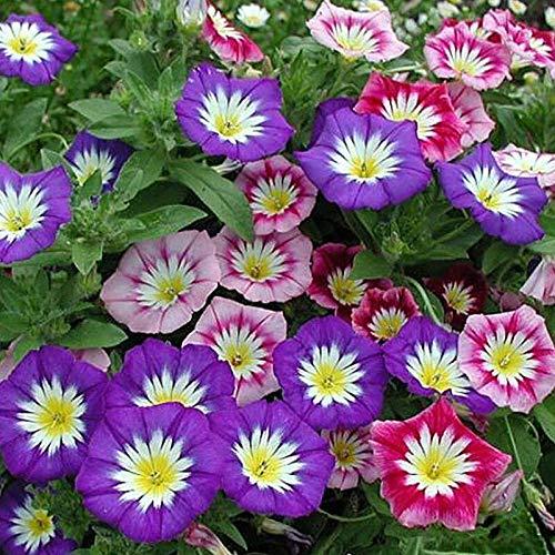 XINDUO Mehrjährig Blumen,Gartenbau Pflanze dreifarbig Convolvulus Samen-blau_0,25 kg,Blüten Saatgut mehrjährig