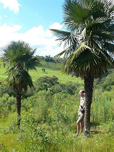 Palme, Trithrinax acanthocoma - Brasilianische Nadelpalme Gesamthöhe: 90-110 cm, Stamm: 15-25cm, Topf: Ø 23cm