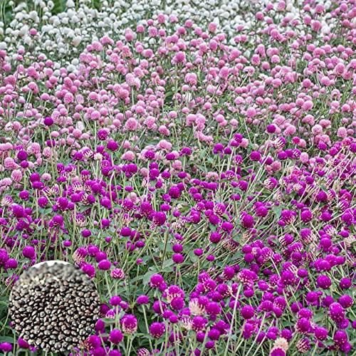 C-LARSS 100Pcs / Bolsa Semillas De Gomphrena Globosa, Plantas De Semillero De Flores Productivas De Colores Mezclados Ornamentales para Parterre Color Mixto Semillas de Gomphrena Globosa