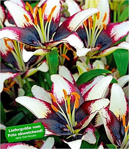 BALDUR Garten Lilie 'Netty´s Pride', 3 Knollen Lilium Lilium, Asiatische Lilien
