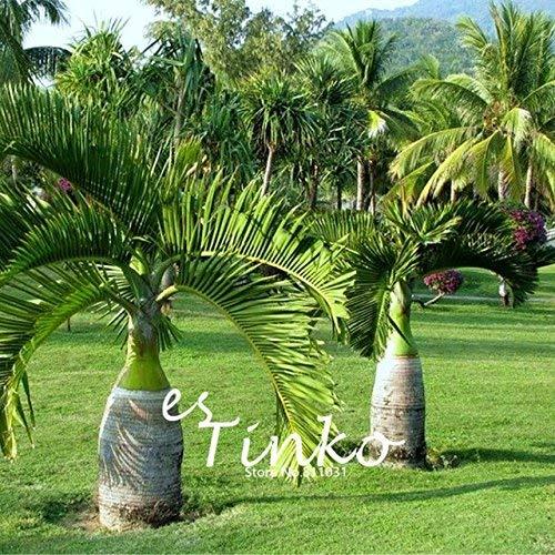 PRODUITS HOO - Graines Palmier 50pcs ornement de jardin Evergreen Trachycarpus fortunei Bonsai plantes paysage tropical jardin Nouvelle arrivée!