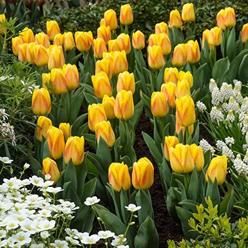 12x Tulipa 'Ice Lolly' | 12er Mix Tulpen Zwiebeln | Weiß-rosa Blüte | Tulpenzwiebeln Winterhart Mehrjährig | Ø 11-12cm