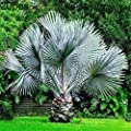 Mggsndi 20Pcs Rare Perennial Plant Palm Tree Seeds Tropical Cycas Garden Yard Decor - Heirloom Non GMO - Seeds for Planting an Indoor and Outdoor Garden
