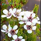 30pcs / bag Semillas raras Leptospermum scoparium de...