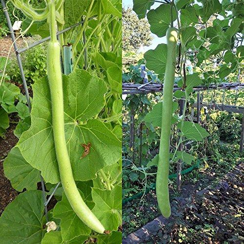 Rosepoem La courge longue de bouteille verte se nourrit de graines organiques pour le paquet de balcon de jardin