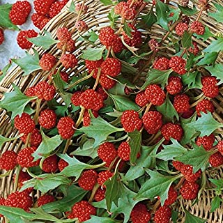 Strawberry Spinach Seeds Rare Red Vegetable for Planting Giant Non GMO 250 Seeds