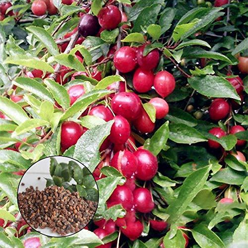 KINGDUO Egrow 10 Unids/Bolsa Semillas De Cerezo Rosaceae Cherry Plum Arbusto Prunus Cerasifera Bonsai Plantas Ornamentales