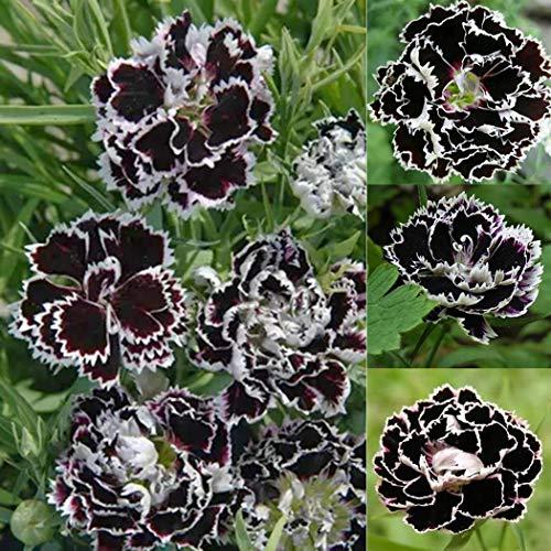 Beautytalk-Garten Selten Nelke Dianthus Blume duftenden Dianthus-Samen Blumensamen Saatgut winterhart mehrjährig Blumen bienenfreundliche für Balkon, Garten