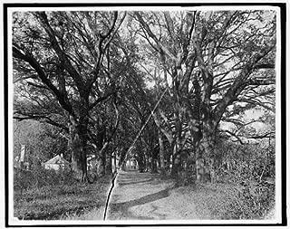 Photo: Hermitage,avenue,oaks,plantations,Savannah,Georgia,GA,Detroit Publishing Co,1900