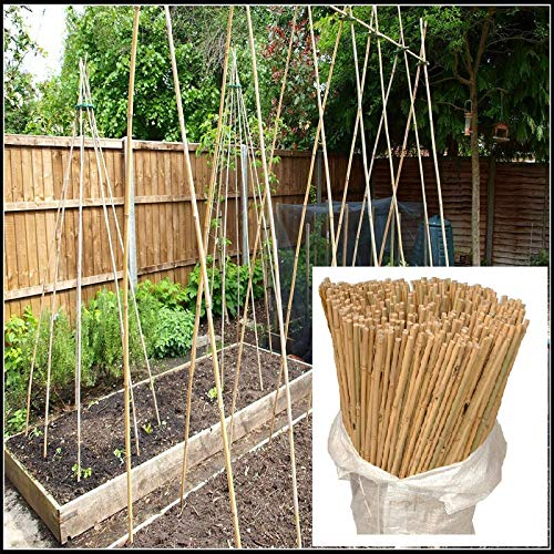 Sizi Ltd Heavy Duty Natural Strong Bamboo Canes Thick Quality Indoor Outdoor Garden Stacking Plant Flower Vegetable Support Pole Sticks (2FTx100 Canes)