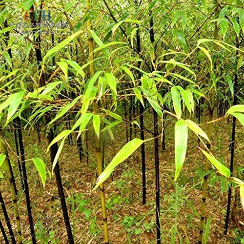 100 graines de graines fraîches bambou noir Phyllostachys Nigra. haut germination