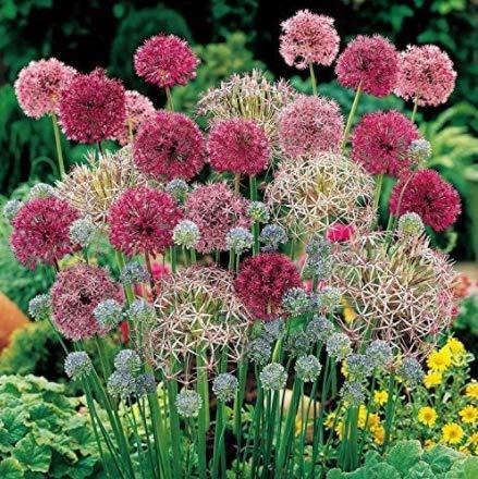 30x géant poireau graines//seeds-zierlauch-Hiver-rare Allium giganteum