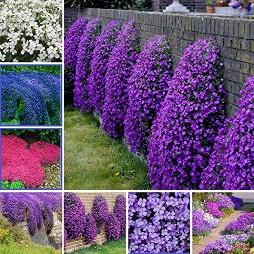 Acecoree Samen Haus- 100 Stück Bodendecker Kressesamen Teppiche Steinaster Blumen winterhart mehrjährig Blumensamen Bienenfreundliche Zierpflanzen immergrün für Barkon, Garten