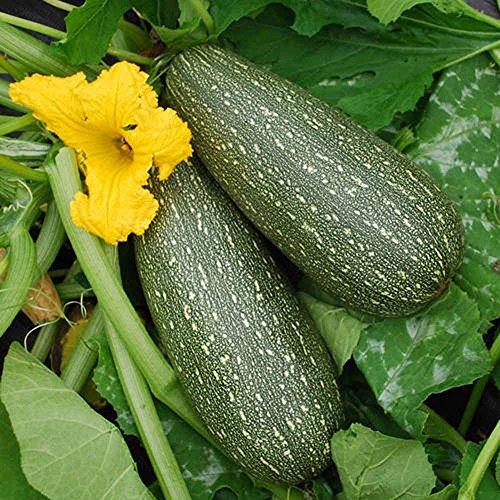 Courgette, Gris Zucchini Squash, 500 graines par paquet, a été un favori des maraîchers NON OGM, bio depuis les années 1950.