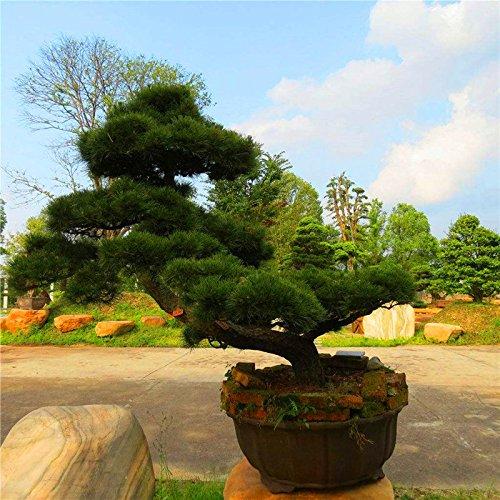 20 pcs/sac Graines de pin noir vert graines de bonsaï Pinus thunbergii plantes Parl pour les plantes ligneuses vivaces droites de jardin à domicile 4