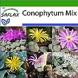 SAFLAX - Sukkulenten - Blühende Steine/Conophytum Mix - 40 Samen - Mit keimfreiem Anzuchtsubstrat - Conophytum Mix