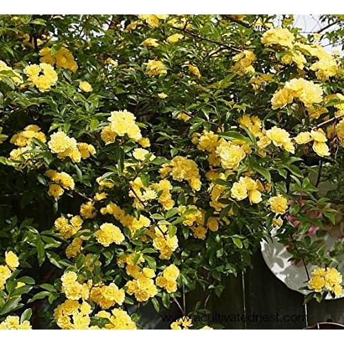 Climbing Roses Plants Amazon Com