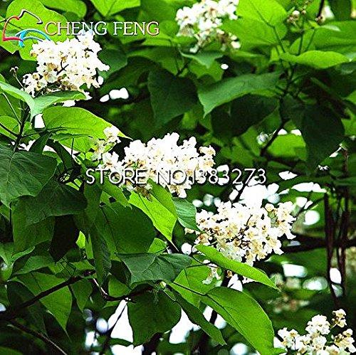 100pcsCatawba-tree Catalpa Seeds Family Jardin du Nord Plante vivace Graines Arbre Plantes à fleurs Hardy