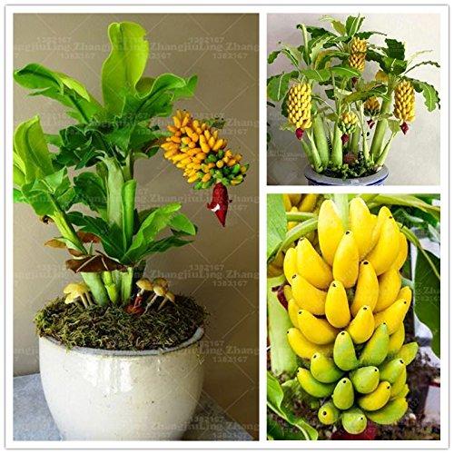 100pcs / sac banane Graines Bonsai pot fruits bio Graines Fruits saine et nourrissante nain bananier pour jardin