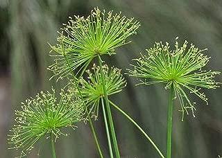 Dwarf Egyptian Papyrus Water Garden Bog Reed Indoor Outdoor PlantTkSouth21