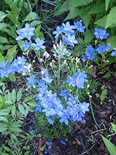 Best delphinium blue mirror plant Reviews