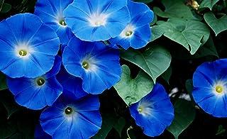Amazon com: heavenly blue morning glory