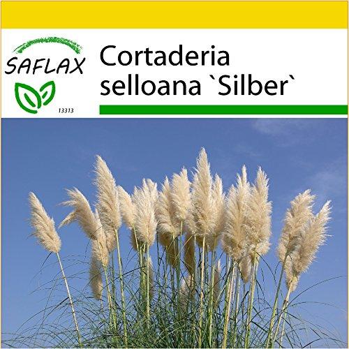 SAFLAX - Anzucht Set - Gräser-Bambus-Amerikanisches Pampasgras - 200 Samen - Mit Mini-Gewächshaus, Anzuchtsubstrat und 2 Töpfen - Cortaderia selloana