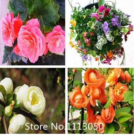 Nouvelle arrivee! 100 pcs / sac, graines Begonia fleurs Graines pour le bricolage jardin Double Begonia semences 4 couleurs pour le choix