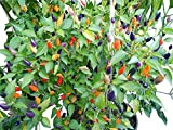 Guindilla - Crepúsculo - medio caliente! 12 semillas