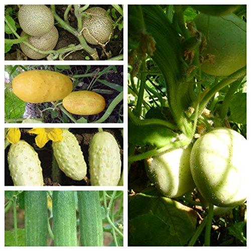 Beliebte Gurkensamen, 5 Arten,50 Samen, getrennt verpackt von unserer ungarischen Farm samenfest, nur natürliche Dünger, KEINE Pesztizide, ECHT NUR VON mediterranpiac, BIO hu-öko-01