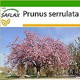 SAFLAX - Cerezo japonés - 30 semillas - Con sustrato estéril para cultivo - Prunus serrulata