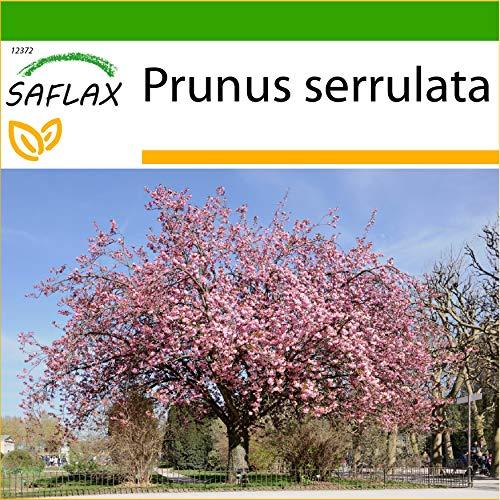 SAFLAX - Japanische Blütenkirsche - 30 Samen - Mit keimfreiem Anzuchtsubstrat - Prunus serrulata