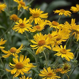Outsidepride Helenium Hoopesii - 1000 Seeds