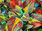 100pcs / bag bella Begonia, semi di begonia bonsai semi di fiori fiori in vaso piante begonia per il giardino balcone Coleus semi 8