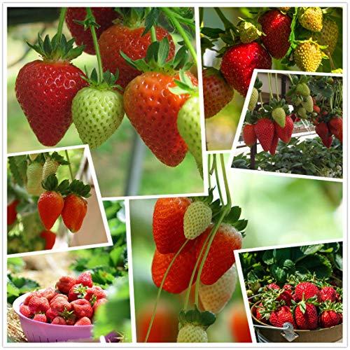 Red Strawberry Climbing Strawberry Fruit Plant Seeds Giardino domestico Nuovo 300 pezzi