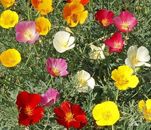 1000 + PAVOT DE CALIFORNIE MIX natif de fleurs sauvages Graines Blanc Orange Rose Rouge Jaune