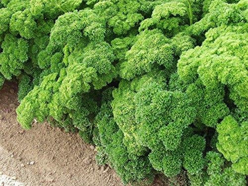Just Seed???herbes Bio???Persil Grune Perle???3000?Seeds???Gros Lot